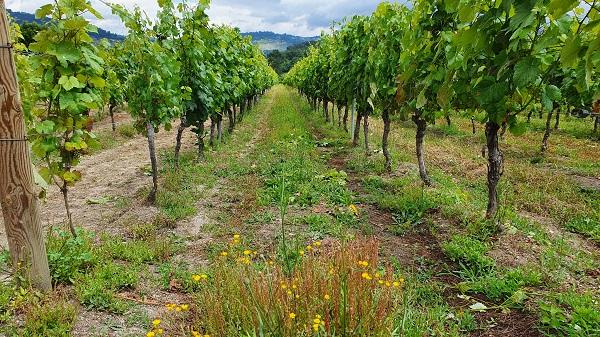 Cubierta vegetal alrededor de un viñedo sostenible